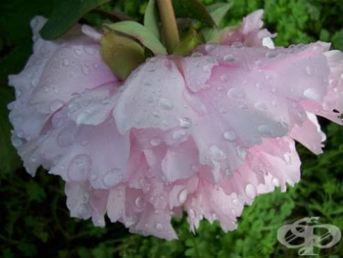 сем. Paeoniaceae (Божурови) - изображение