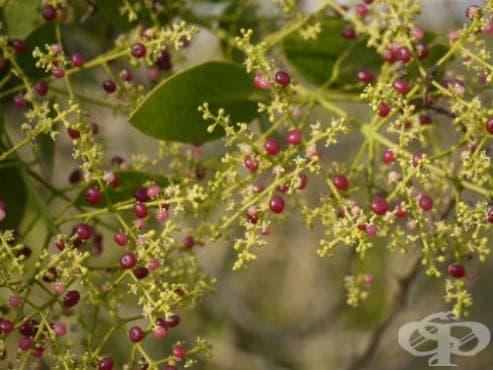 сем. Salvadoraceae - изображение