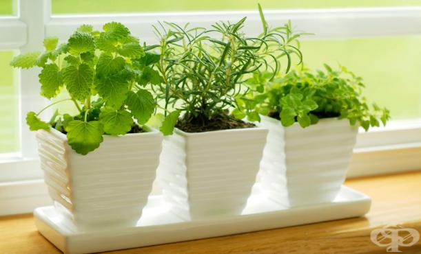 Отглеждане на билки в саксия и в градината - изображение