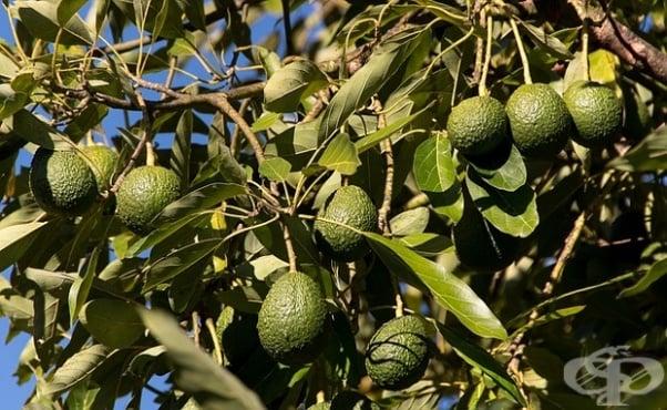 Отглеждане на авокадо - изображение