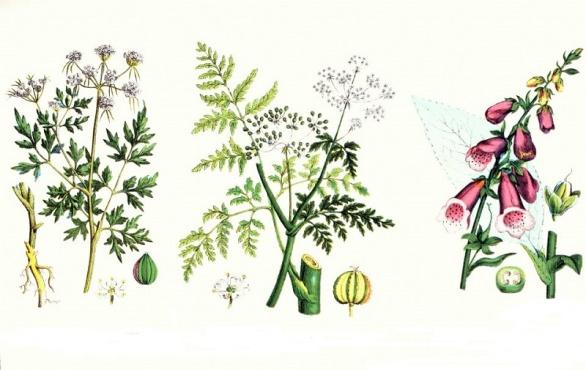 Отравяния с лечебни растения - отровни билки - изображение