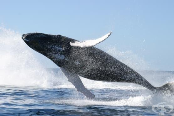 30 найлонови торбички бяха открити в стомаха на кит, убит край Норвегия - изображение
