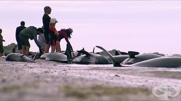 Масово самоубийство на китове в Нова Зеландия (Снимки) - изображение