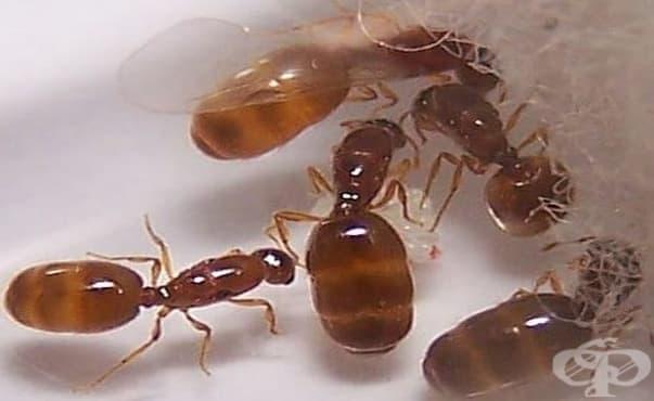 Учени откриха видове мравки, които произвеждат естествени антибиотици - изображение