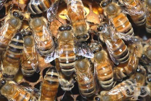 Вирус убива милиони медоносни пчели по света - изображение