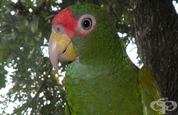 В Мексико откриха нов вид папагали - изображение