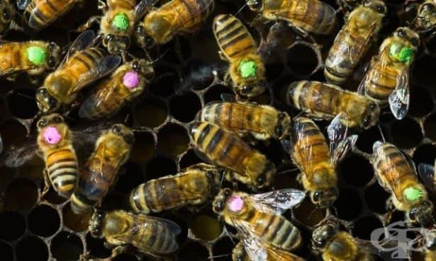 Антибиотиците вредят на пчелите, от които зависи баланса в природата - изображение