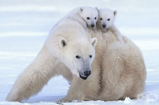 Еколози прогнозират сериозен спад в популацията на белите мечки - изображение