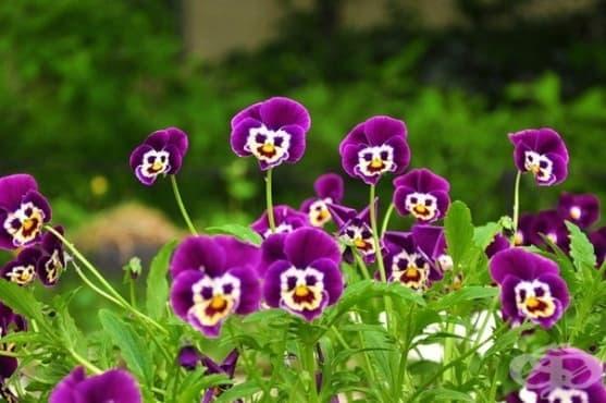 Цветята имат много по-слаб аромат, когато температурите в заобикалящата среда са по-високи - изображение
