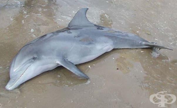 Морето край Балчик изхвърли труповете на 8 делфина - изображение