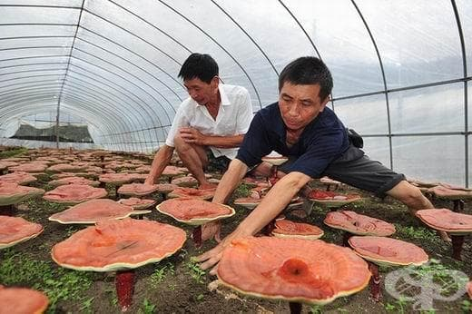 """В Южен Китай откриха гигантска """"гъба на дълголетието и на безсмъртието"""" - изображение"""