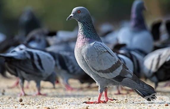 Учени доказаха, че гълъбите мислят по-бързо от хората - изображение