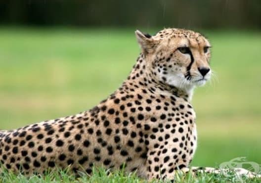 Гепардите са застрашени от изчезване - изображение