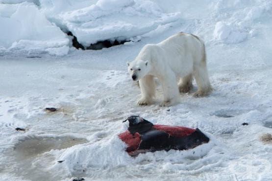 Глобалното затопляне принуди белите мечки да ловуват делфини - изображение