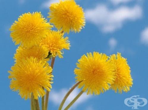Глухарчето - жълтото лечебно чудо на природата - 1 част - изображение