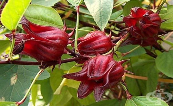 Хибискусът може да се използва като лекарство и естествен оцветител за храна - изображение