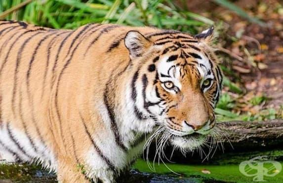 В Тайланд откриха популация на индокитайски тигри  - изображение
