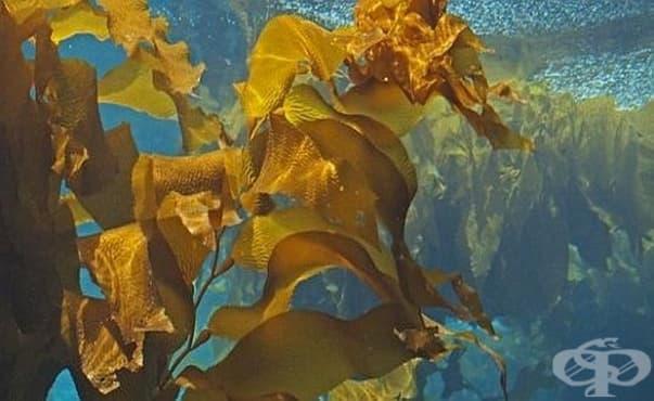 Полизахарид в кафявите водорасли не позволява на рака на простатата да се разпространява - изображение