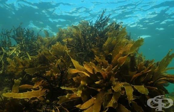 Кафявите водорасли възпрепятстват развитието на артроза - изображение