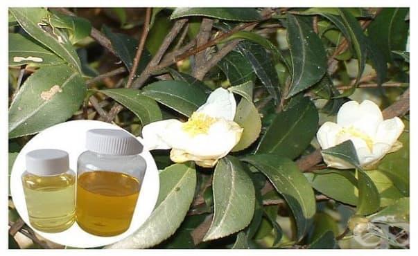 Маслото от бяла камелия защитава от белодробна фиброза - изображение