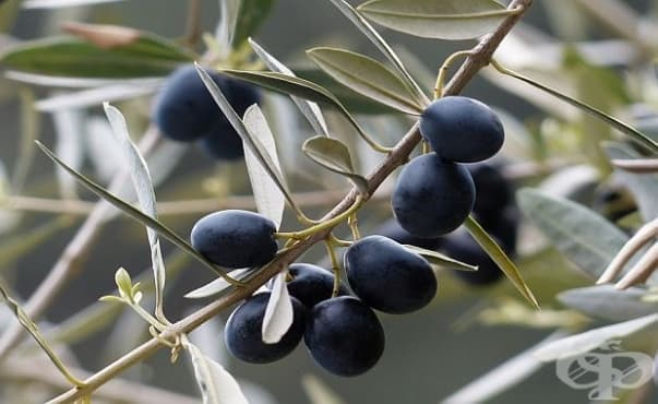 Турски учени изобретиха екологична пластмаса от костилки на маслини - изображение