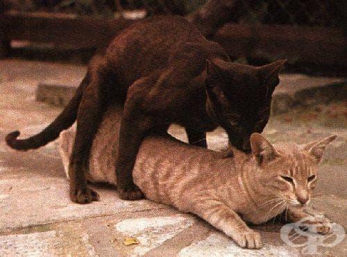 Секс котка