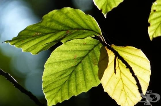 Създадоха листо, което може да произвежда лекарства навсякъде, където има слънчева светлина - изображение