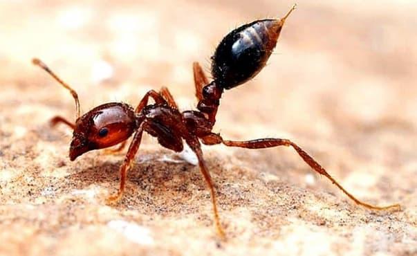 Съставка в отровата на огнените мравки облекчава псориазиса - изображение