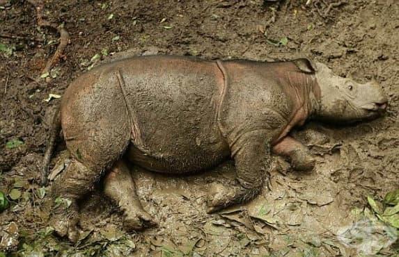 Почина един от последните три суматрански носорози в Малайзия - изображение