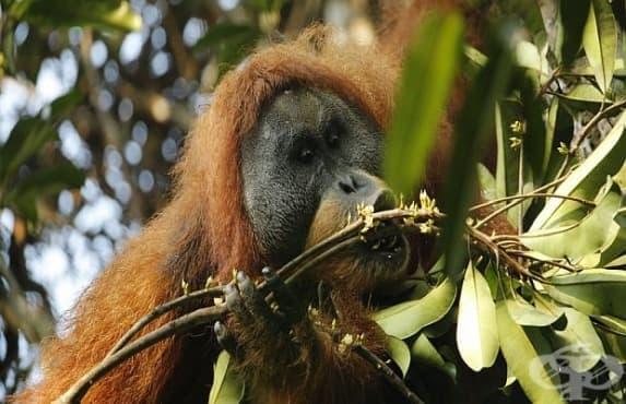 Откриха нов вид орангутан в света - изображение