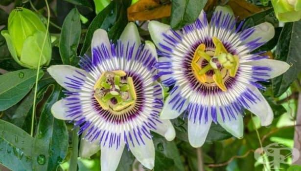 Пасифлората е изключително ефективна срещу тревожността - изображение
