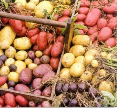 Любопитно за картофите - изображение