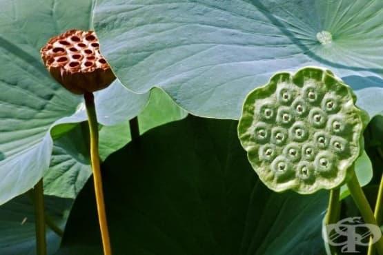 Според тайвански учени семената на лотос предпазват черния дроб от възпалителни процеси - изображение