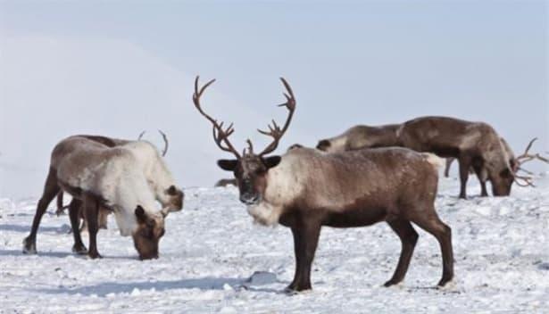 Северните елени еволюират заради климатичните промени - изображение