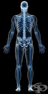 Скелетът и костите играят определена роля при регулацията на плодовитостта и възпроизводството при мъжете, но не и при жените - изображение