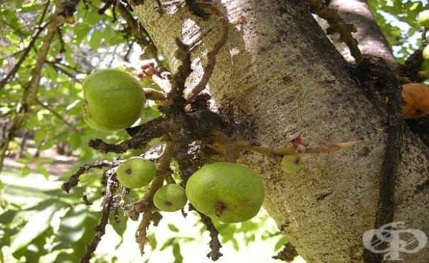 Екстракт от кората на смокиня помага за бързо заздравяване на рани - изображение