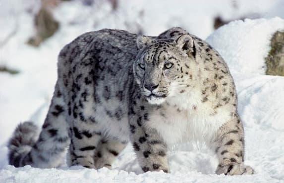 Снежният барс вече е уязвим вид, а не застрашен  - изображение