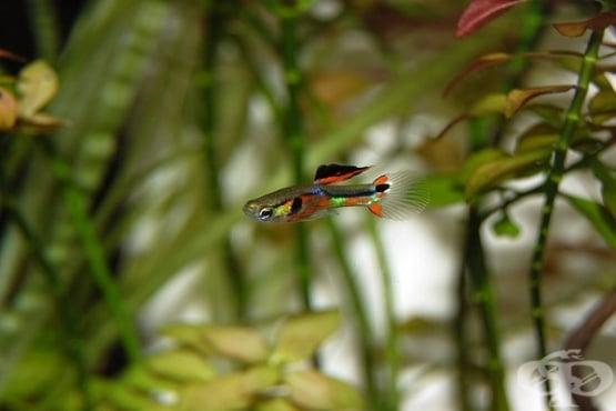 """Замърсяването на водата с антидепресанта """"Prozac"""" променя поведението на рибите Гупи  - изображение"""