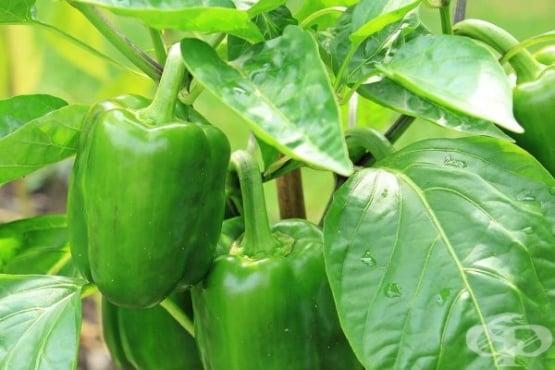 Сладка зелена чушка - изображение