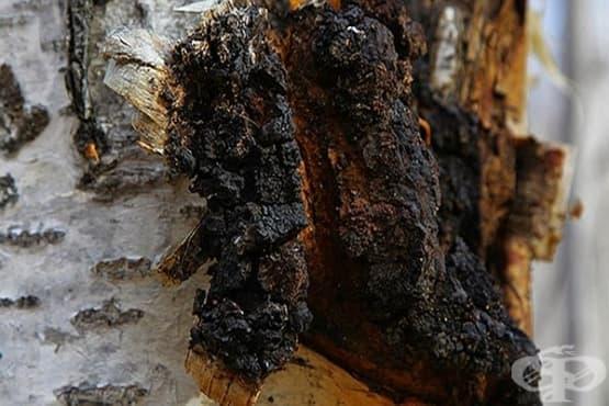 Брезова гъба Чага - изображение