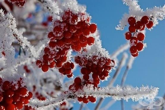 Плодове калина (червена) - изображение