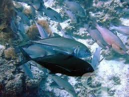 Риба Тон - изображение