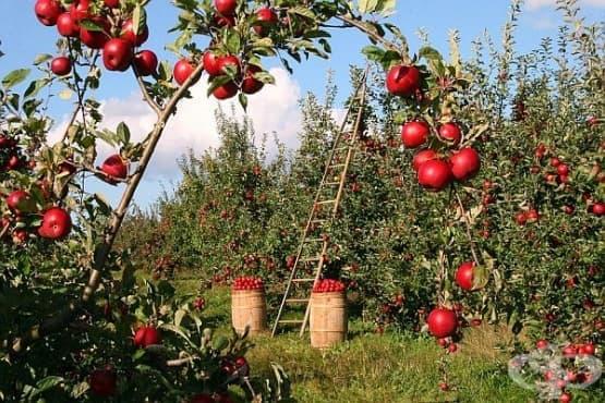 Ябълки - изображение