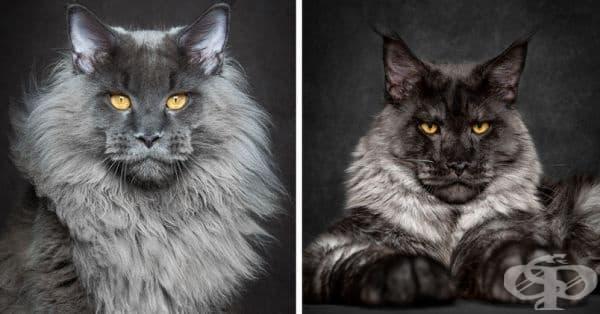25 снимки за Мейн Кун – кралете на котките - изображение