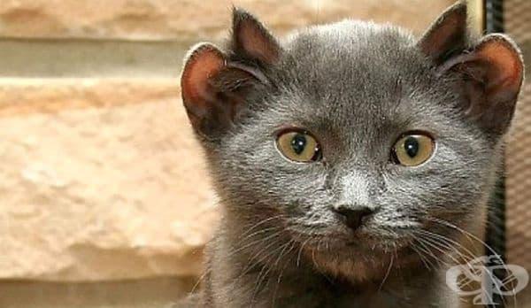 Виждали ли сте котка с четири уши? - изображение