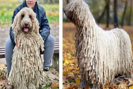Ханга – кучето, което привлича медийното внимание с очарователната си прическа - изображение