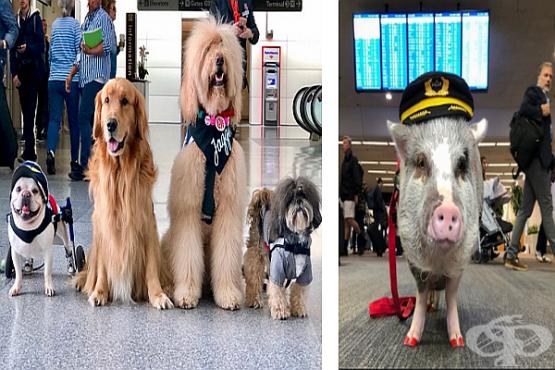 Весела бригада от 22 кучета и 1 прасе успокояват пътниците на летище в Сан Франциско - изображение