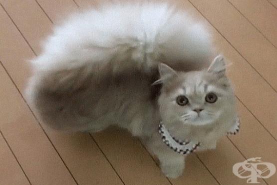 Очарователна котка с пухкава опашка като на катерица - изображение
