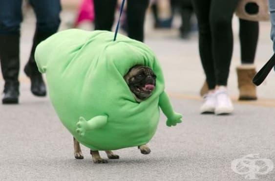 Очарователни снимки на кучета порода Мопс, на които малко хора биха устояли  - изображение