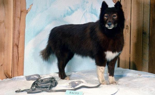 Балто: кучето, спасило деца, болни от дифтерия - изображение